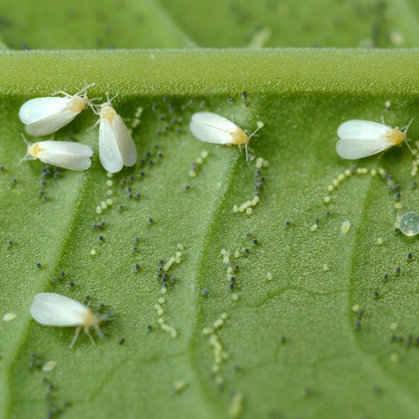 control whiteflies