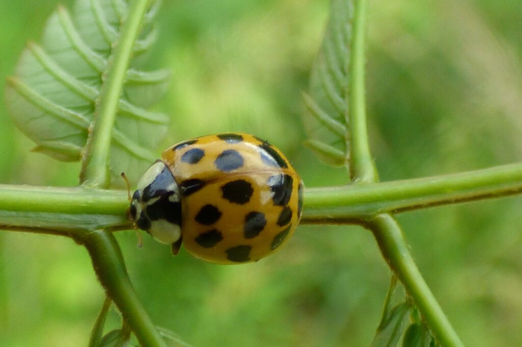 Asian ladybugs