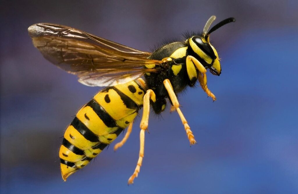 How to treat yellow jacket stings
